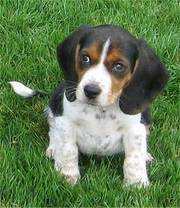 lovely Beagle puppies for good and lovely home