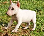 Bull Terrier Puppies For Pet Lovers