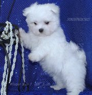 Pure bred Maltese pups Gorgeous fluffy bundles of fun looking for new